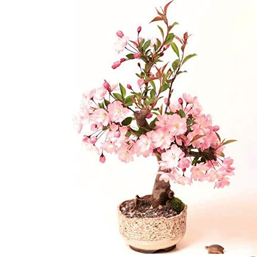 Rowentauk Blumensamen Kirschblüte Samen Duftenden Miniatur Baum Pflanzen Sakura Samen Garten Topfpflanzen Flower Seeds -