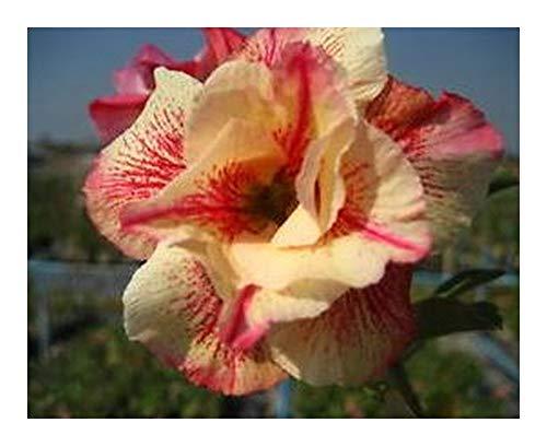 Adenium obesum Luang Lai - Rose du désert - Faux baobab - 3 graines
