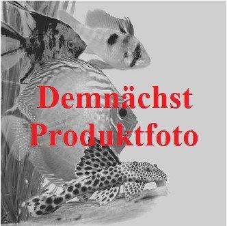 Nano Speerblatt-Bäumchen mit Baumkrone / Urwaldbaum KLEIN mit Anubias Bonsai