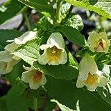 Gelbe Weigelie - Weigela middendorffiana - Blütengehölz