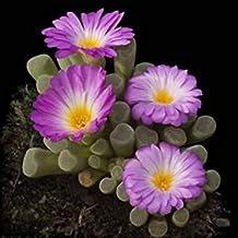 Farmerly Frithia Pulchra Raras Semilla Cactus Cactus mesembs 15 Semillas
