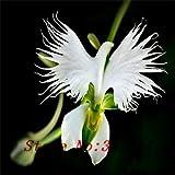 `` `Hot Hot verkaufen100pcs Peru Affe-Gesichts-Orchideen-Blumensamen Phalaenopsis Bonsai Blume Pflanzensamen DIY Hausgarten