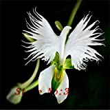 `` `Hot Hot di vendita 100pcs Perù Monkey Face fiore di orchidea Phalaenopsis Semi semi Bonsai pianta fiore del giardino di casa fai da te