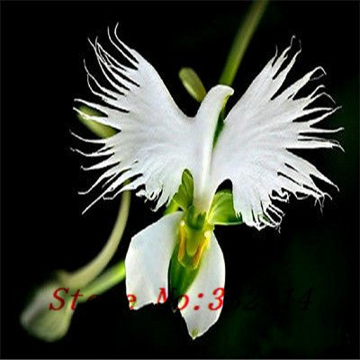 `` `Hot Hot 100 piezas vendidas Semillas Perú la cara del mono Flor de la orquídea Phalaenopsis Semillas de plantas de flor de Bonsai jardín de DIY