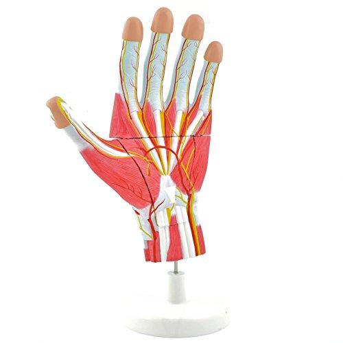HeineScientific Modelo anatómico mano