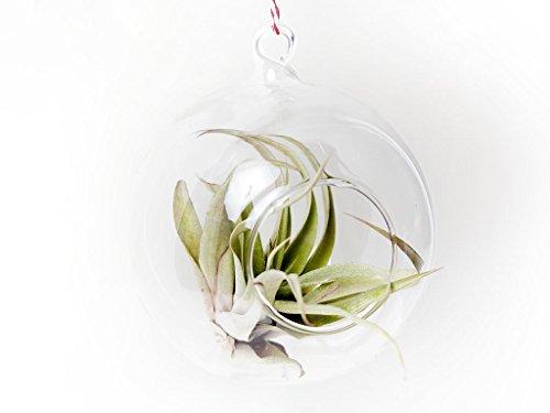 dill-et-menthe-terrarium-en-verre-12-cm-x-12-cm-boule-de-noel-a-suspendre-fixez-vos-propres-a-cordes