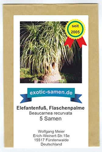 Beaucarnea recurvata - Elefantenfuß, Wasserpalme, Flaschenbaum - 5 Samen