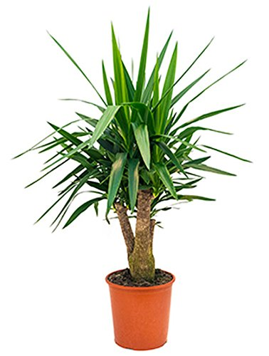 Yucca Palme schöne Zimmerpflanze für hellen Standort Yucca elephantipes 1 Pflanze 90-110 cm im 27 cm Topf von Redwood