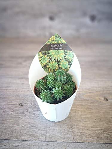 pianta di euphorbia suzannae (vaso - 6.5)