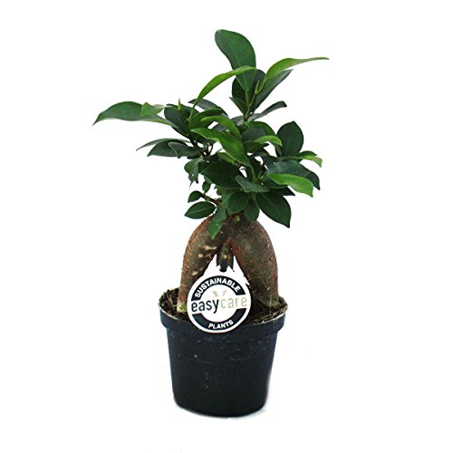 Ficus microcarpa Ginseng - Lorbeerfeige - 9cm Topf