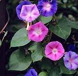 Morning Glory semillas mixtas - Ipomoea tricolor