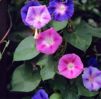 Morning Glory Samen gemischt - Ipomoea Tricolor -