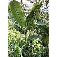 PlenTree 10 Semillas de híbrido plátano comestible Sf163 de Helen (Musa sp.)