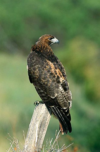 The Poster Corp Konrad Wothe - Red-Tailed Hawk Perching North America Kunstdruck (50,80 x 71,12 cm)