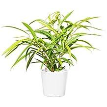 EVRGREEN Birkenfeige | Ficus Benjamini | Zimmerpflanze in Hydrokultur | im Set inkl. Keramiktopf (weiß) | ficus binnendijkii amstel Gold