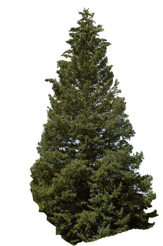 Stech-Fichte (Picea pungens) 30 Samen (Winterhart) auch Blaufichte genannt -Schöner Weihnachtsbaum-