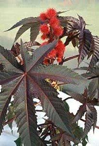 Pinkdose Hirts: Seed; Perennial Ricinus Carmencita Red Leaf Castor Bean, 10 Seeds -