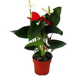"Flamingoblume ""Sierra Red & Sierra White"" TWINS Rot/Weiss 14cm Topf Anthurium andreanum"