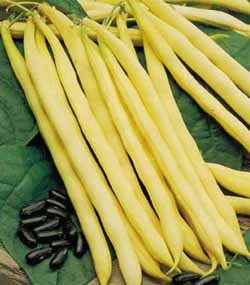 premier-seeds-direct-dwarf-yellow-french-bean-rocquencourt-100-finest-seeds