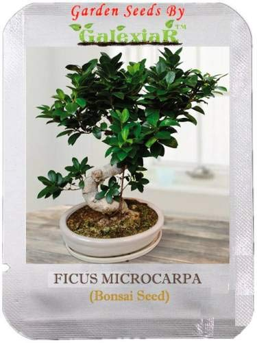Pinkdose Microcarpa Bonsai Ficus Gingseng-Baum-Samen