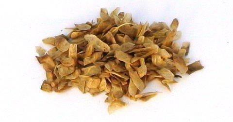 Samen von Cercidiphyllum japonicum, Katsurabaum, Kuchenbaum, 30 Stück