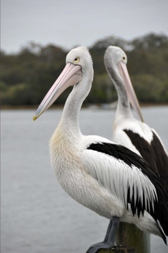 pair-of-australian-pelicans-on-the-noosa-river-sunshine-coast-queensland-journal-150-page-lined-note