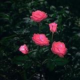 Nouveau modèle extérieur décoratif Rose Solaire LED lumière, pour Jardin, Cour, terrasse, allée, Rose