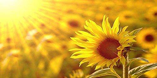 Quadro stampa su tela – girasoli in the sun floreale fotografia decorazione da parete – 90x45 cm