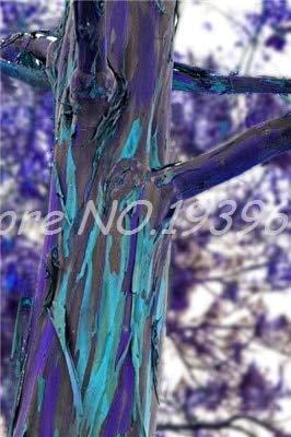 Ventes! 200 pcs/sac de Rainbow Rare, Arbre tropical Showy, vivace Bonsai Potted Maison et Jardin bleu clair (ing GRAINES SEULEMENT)