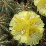 Notocactus magnificus seeds