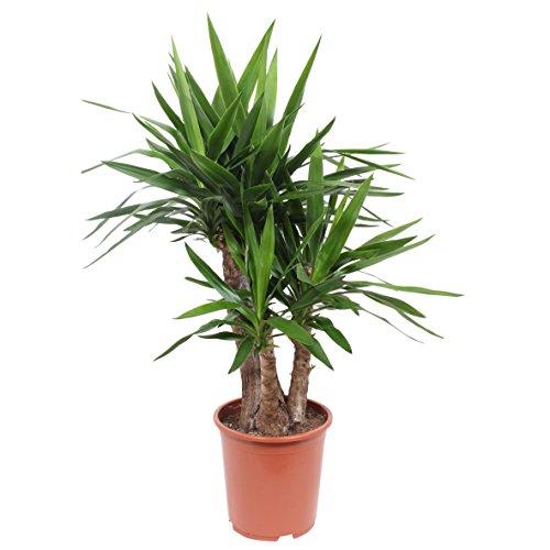 FloraAtHome - Grünpflanze - Yucca elephantipes - Yucca elephantipes gigantea - Palmlilie - 100cm hoch