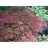acer palmatum dissectum atropurpureum roter schlitzahorn 40 60 garten. Black Bedroom Furniture Sets. Home Design Ideas