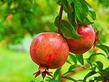 Keland Garten - Granatapfelbaum Samen Bonsai Samen Zwerg Granatapfel winterhart (20)