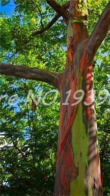 Ventes! 200 pcs/sac Rare arc en ciel, arbre tropical Showy, vivace Bonsai Potted Maison et Jardin (1 ing mixte GRAINES SEULEMENT)