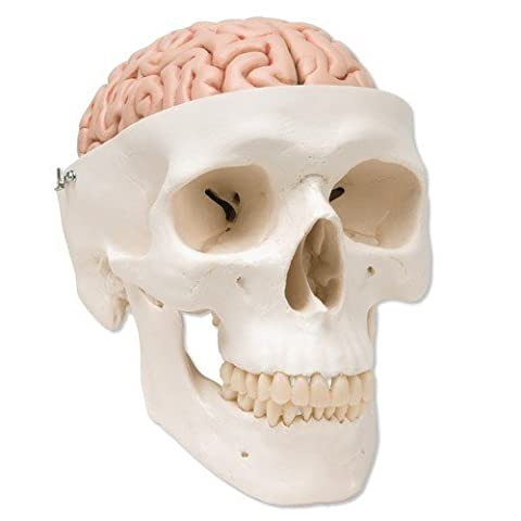 Human Skull Model with 5 part Brain - A20/9