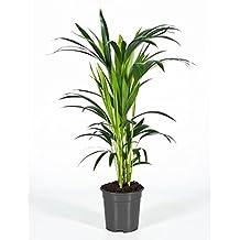 Suchergebnis Auf Amazonde Für Zimmerpflanzen Wenig Licht