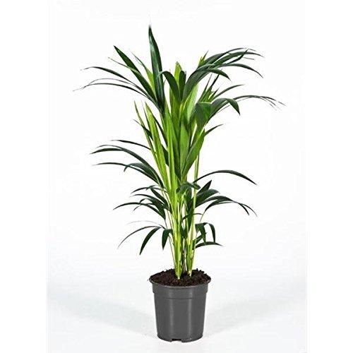 Kentia Palme 60 cm - 15,90 €