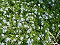 Sumpfvergissmeinnicht - Myosotis palustris - Wasserpflanze von Staudengärtnerei bei Du und dein Garten