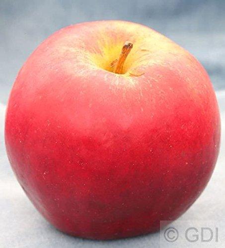 Apfelbaum Knebusch 60-80cm – knackig und süß
