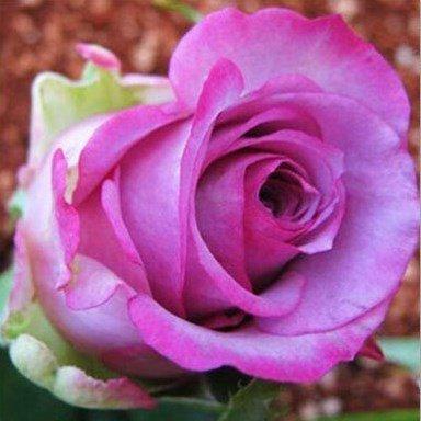Pots de fleurs jardinières, 20 sortes de 100 graines, Rainbow Rose graines belle rose graines bonsaïs graines pour Orange Maison et jardin
