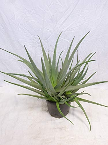 [Palmenlager] XXL Aloe vera -100 cm- üppige, schwere Qualität – großer 30 cm Pot – Zimmerpflanze
