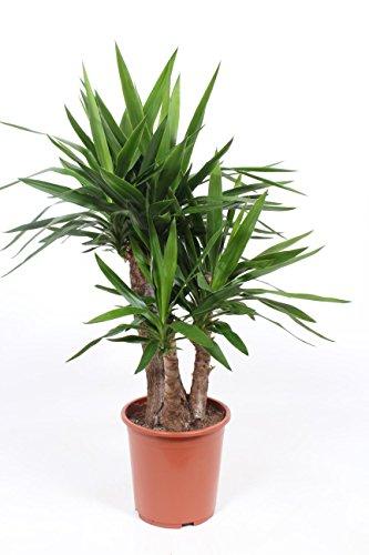 Grünpflanze - Yucca elephantipes - Yucca elephantipes gigantea
