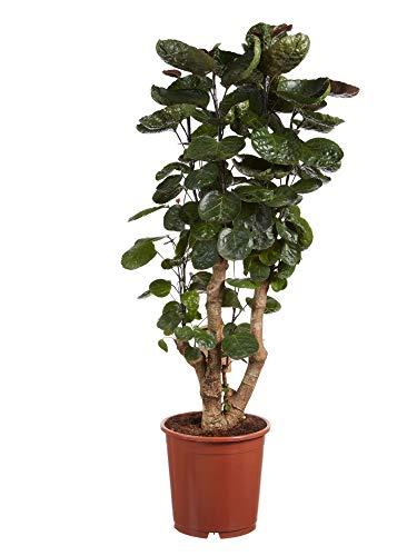 polyscias | pianta d'appartamento | altezza 100 cm | pot 24 cm | facilità di manutenzione