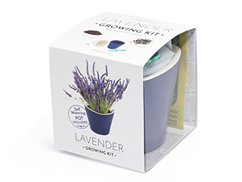 Galleria fotografica Kit lavanda per la coltivazione (lavender growing kit) Domestico, All-In-One set (Porpora)