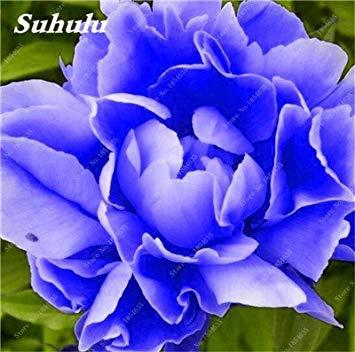 Nouveau! 10 Pcs Pivoine Graines Paeonia suffruticosa Andrews Mix Couleurs Indoor Bonsai fleur pour jardin des plantes Pivoine Graines de fleurs 13