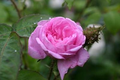 Centifolia Muscosa - Container Rose im 5 ltr. Topf von Rosen-Direct bei Du und dein Garten