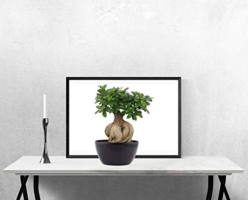 The Bonsai Plants Exclusive 5 Year Old Grafted Ficus Bonsai Tree