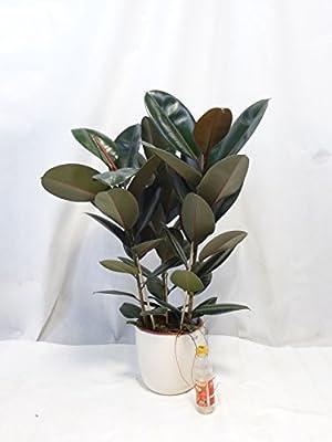 """Gummibaum - Ficus elastica """"robusta"""" 120cm 3er Tuff // Zimmerpflanze von PalmenLager.de bei Du und dein Garten"""