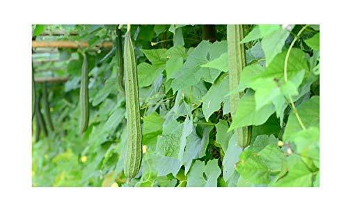 20x Luffa acutangula Flügelgurke Samen Kletterpflanze Gemüse Garten ID43