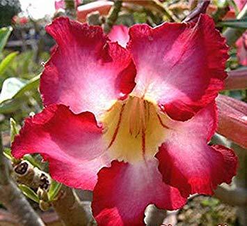 Keimfutter: Adenium Obesum Desert Rose Dancing_Queen 100 Seeds (Rose Dancing)